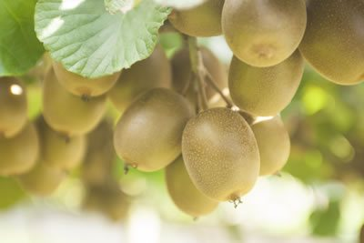 Plant & Food Research and Zespri's Response to the Psa Outbreak